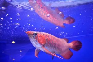 A former Indonesian president paid $20,000 for this Asian arowana. Image via Getty.