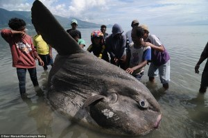 An adult sunfish. Image via Daily Mail.