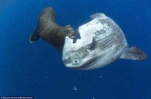 Sunfish vs. sea lion. Image via Daily Mail.