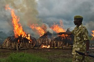 A Kenya Wildlife Service officer oversees ivory burning. Image via Getty Images.