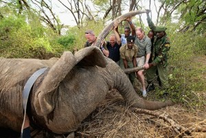 """After news of African forest elephants taking over 90 years for its population to recover due to slow breeding, its cousin, Africa's savanna elephants, are dwindling in numbers. In the picture, Prince William, Duke of Cambridge, Royal Patron of Tusk and President of United For Wildlife, assists rangers in northern Kenya to move 'Matt', a tranquilised bull elephant, whilst a wildlife vet fits his new satellite tracking collar to monitor and protect him from poachers. (Photo : Chris Jackson/Getty Images)"""